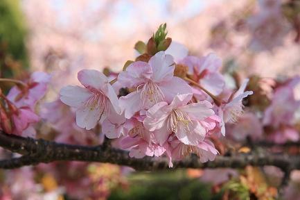 河津桜-9