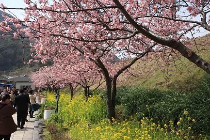 満開の河津桜-2