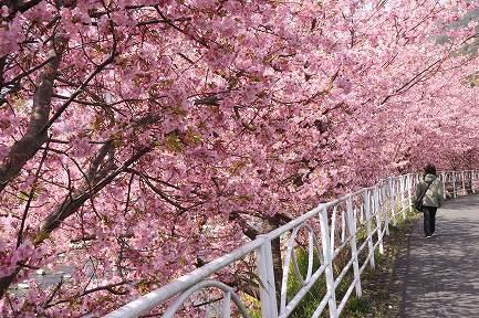 満開の河津桜-6