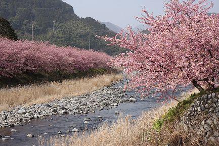 満開の河津桜-7