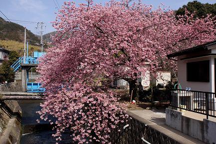 満開の河津桜-8
