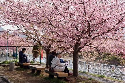満開の河津桜-9