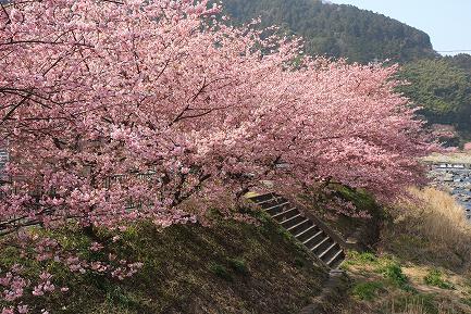 満開の河津桜-10
