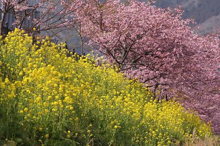 満開の河津桜-11
