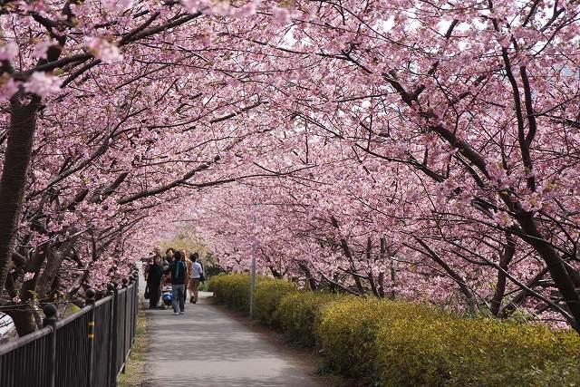 満開の河津桜-12