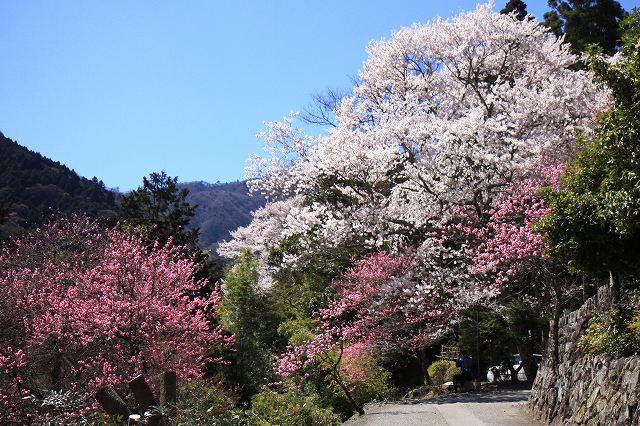 身延町内しだれ桜-1