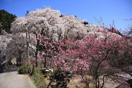 身延町内しだれ桜-2