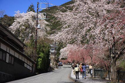 身延町内しだれ桜-3