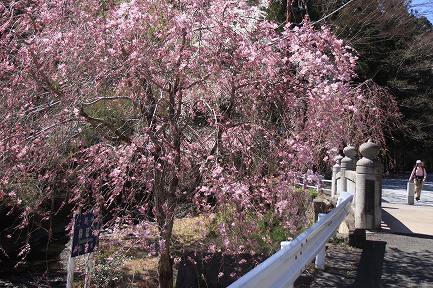 身延町内しだれ桜-4