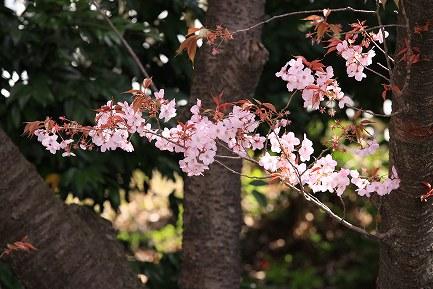 遺伝学研・桜-2