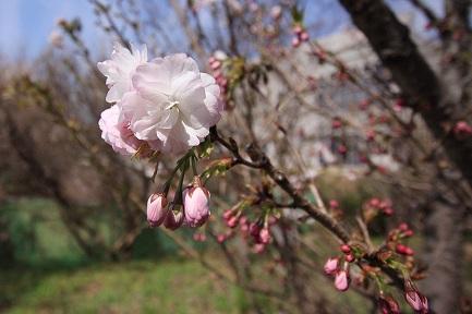 遺伝学研・桜-7