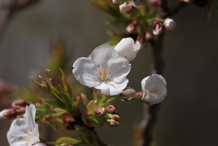 遺伝学研・桜-3