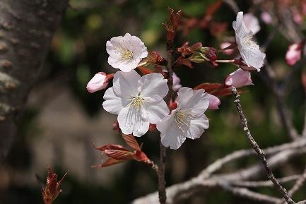 遺伝学研・桜-4