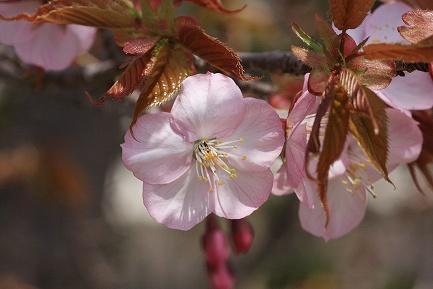 遺伝学研・桜-5