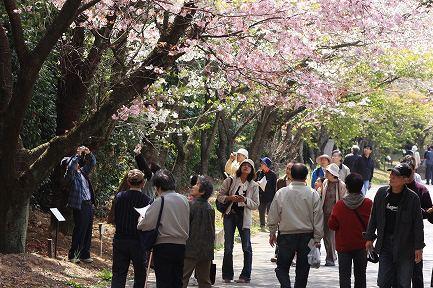 遺伝学研・桜-15