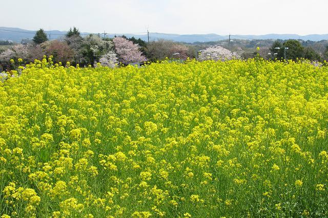 遺伝学研・桜-16