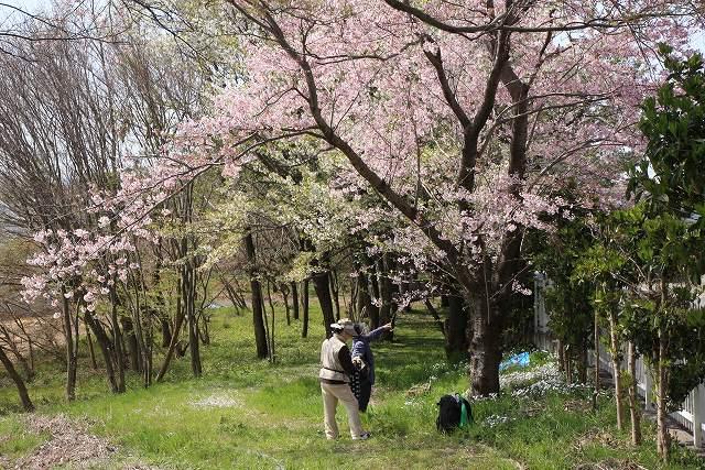 遺伝学研・桜-1