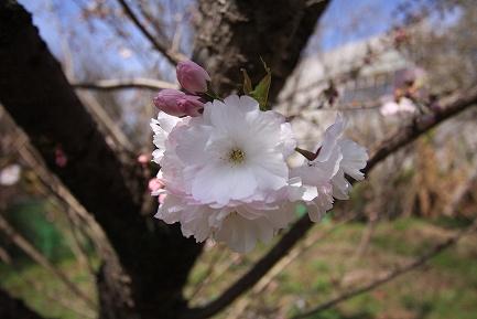 遺伝学研・桜-6