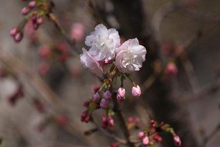 遺伝学研・桜-8