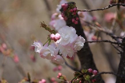 遺伝学研・桜-9