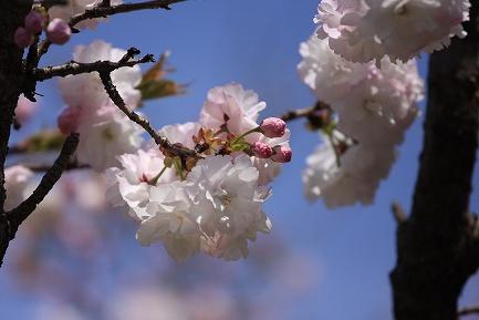 遺伝学研・桜-10