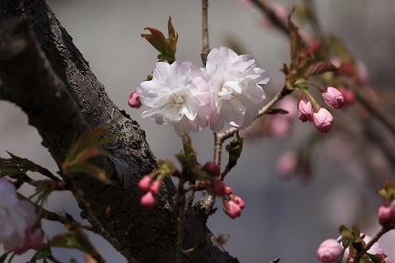 遺伝学研・桜-11