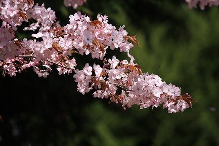 遺伝学研・桜-12