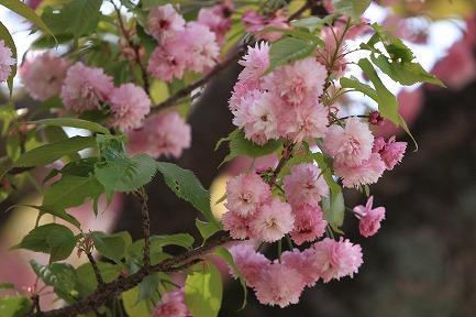 遺伝学研・桜-13