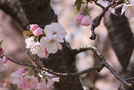 遺伝学研・桜-14