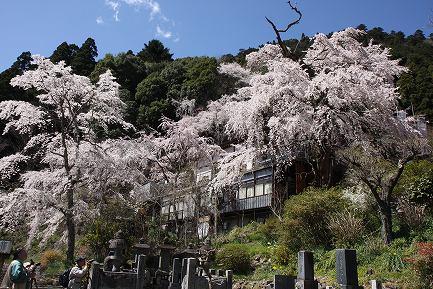 西谷のしだれ桜-1