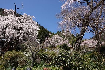 西谷のしだれ桜-2