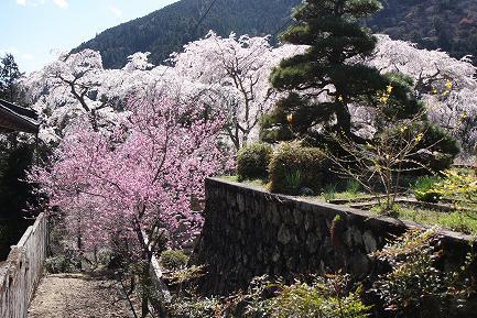 西谷のしだれ桜-3