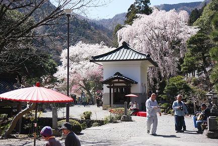 西谷のしだれ桜-4