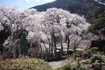 西谷のしだれ桜-5