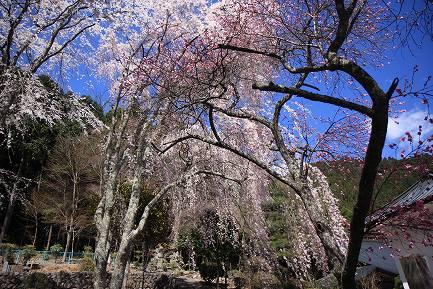 西谷のしだれ桜-6