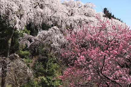 西谷のしだれ桜-7