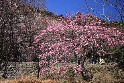 西谷のしだれ桜-8