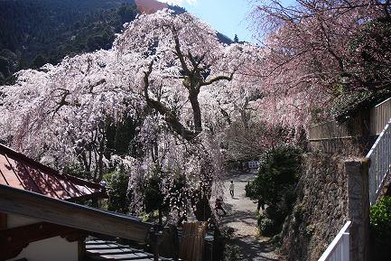西谷のしだれ桜-9