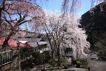 西谷のしだれ桜-10