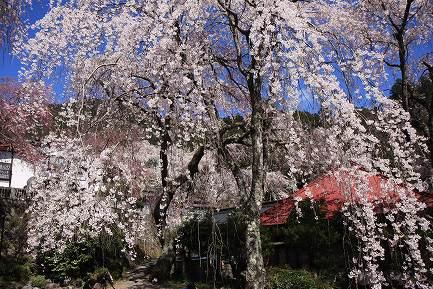 西谷のしだれ桜-11