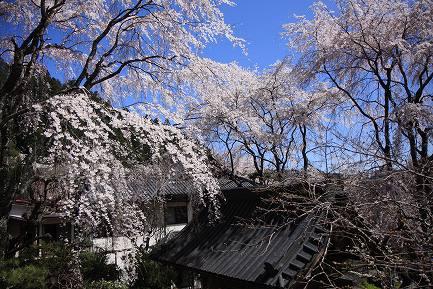 西谷のしだれ桜-12