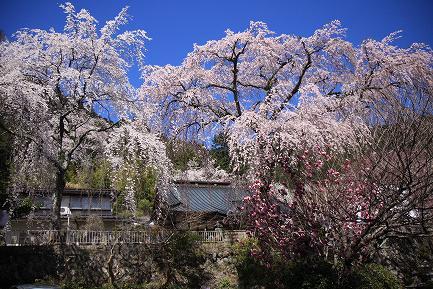 西谷のしだれ桜-13