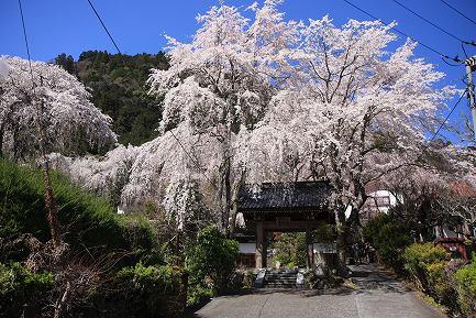 西谷のしだれ桜-14