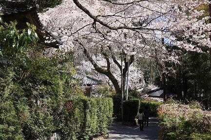 西谷のしだれ桜-15