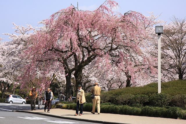 しだれ桜-1