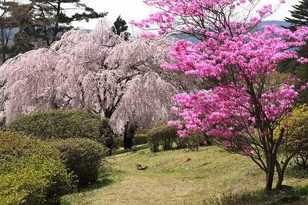 しだれ桜-3