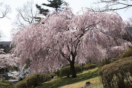 しだれ桜-4
