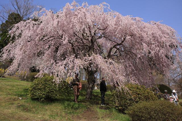 しだれ桜-5