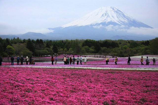 富士芝桜-1