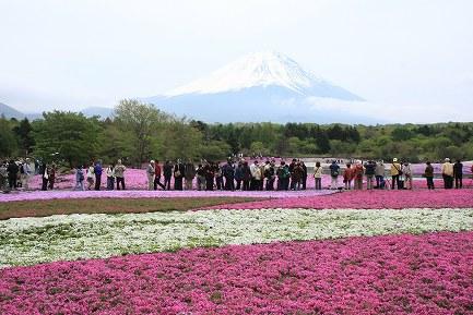 富士芝桜-2